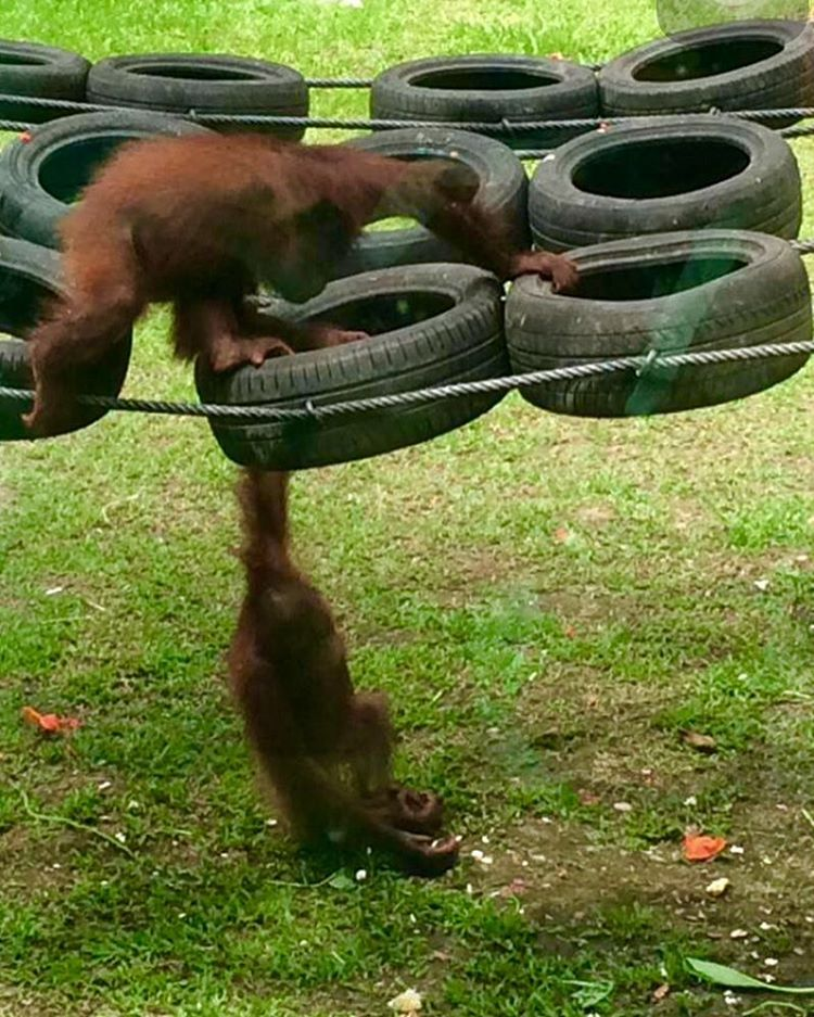Playtime at the Sepilok Orangutan Rehabilitation Centre  sepilok Sabahhellip