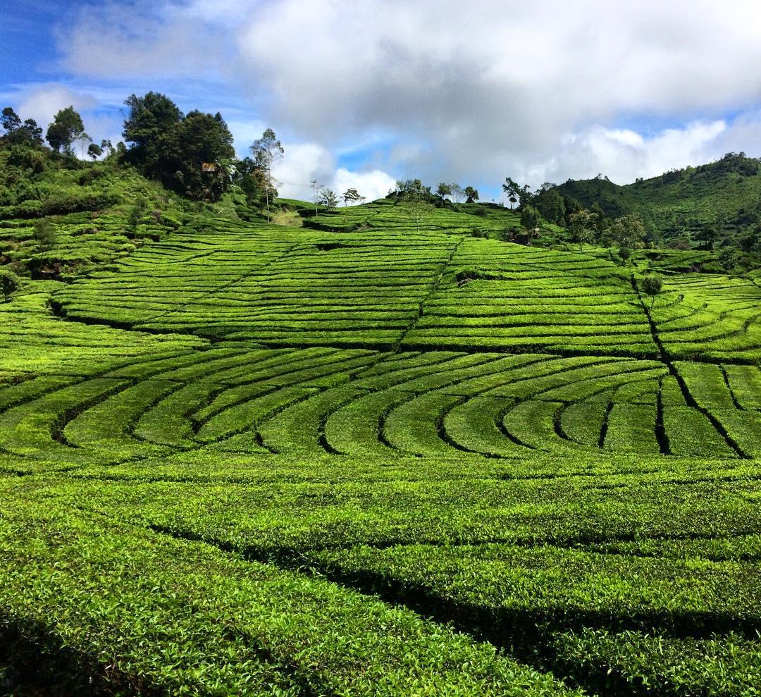 Green Walini tea plantation Bandung