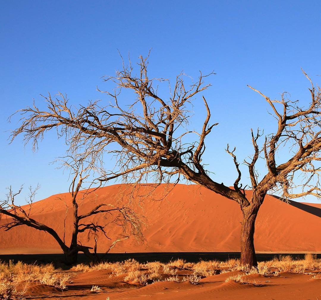 Camel thorn trees near Dune 45 in Sossussvlei Namibia Thehellip