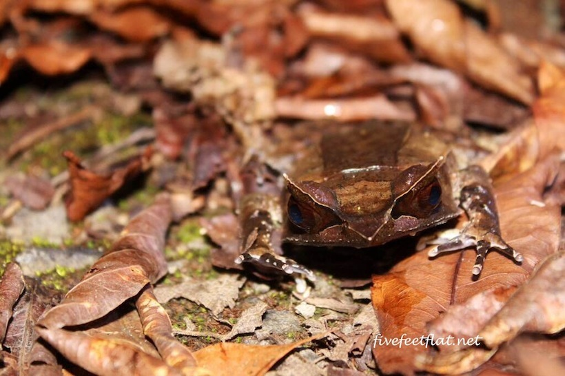 A Bornean Horned Toad. I had to get down on the ground to snap this.