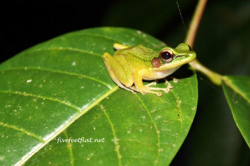 White-Lipped Frog, spotted in Kubah National Park, Sarawak